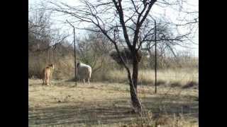 Gepard - polowanie na strusie i owce