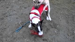 Mix犬クーちゃん(生後半年)と、M・ブルテリアのごぶ君(2歳半)です。...