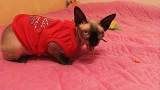 #Сфинкс кошка Сфинкс разговаривает #Кот кушает Одежда для кошки Life of #Pets Sphinx cat talking