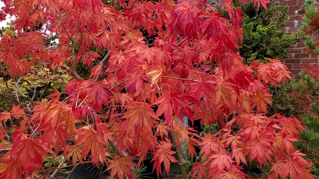 Amazing Maples Japanese Maple Fall Color Youtube