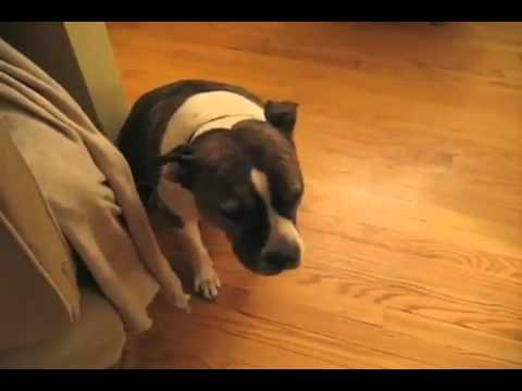guilty dog is very ashamed youtube