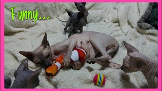 Cat Mommy plays with Her Babies toy  So Funny & Cute | Don Sphynx