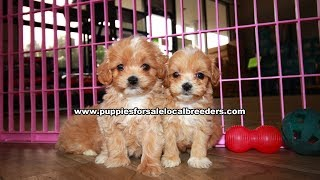 Yorkies, Bulldogs, Maltipoo, Cavapoo, Shih Tzu, Pomeranian, Bostons Puppies For Sale Local Breeders