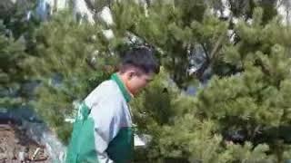 видео посадка сосен крупномеров