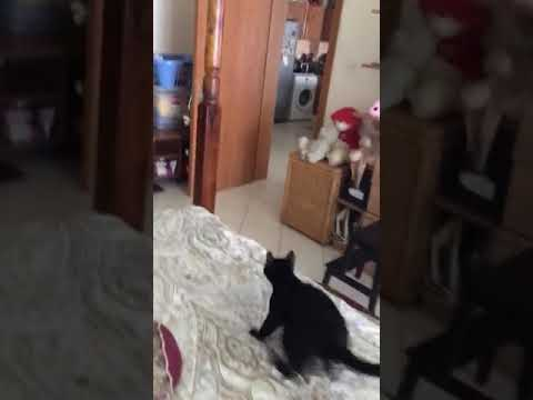Super Cat Playing Fetch!!! MUST WATCH!!!