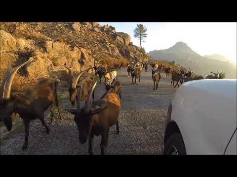 Cabras de Covide bloqueiam estrada- Gerês 2017