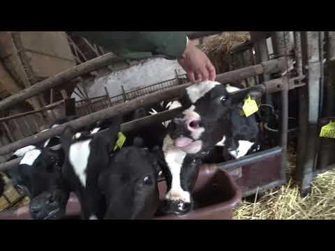 Intelligent Technology Modern Cow Milking Automatic Machine Calf Milk Feeding Smart Farming Denmark