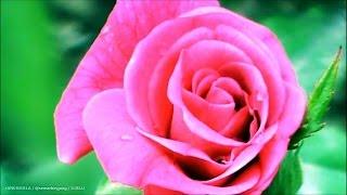 Bunga Mawar Merah ( Red Roses )