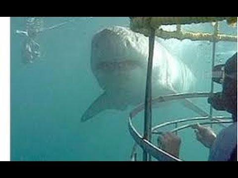 África, Safari de Tiburones