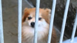 Lost And Found Pomeranian At Oc Shelter