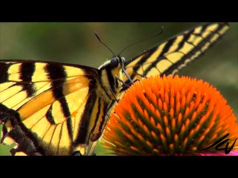 Pollinator Partners   Bees and Butterflies   YouTube