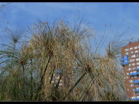 PAPIRO ( Cyperus papyrus) PLANTAS ORNAMENTALES