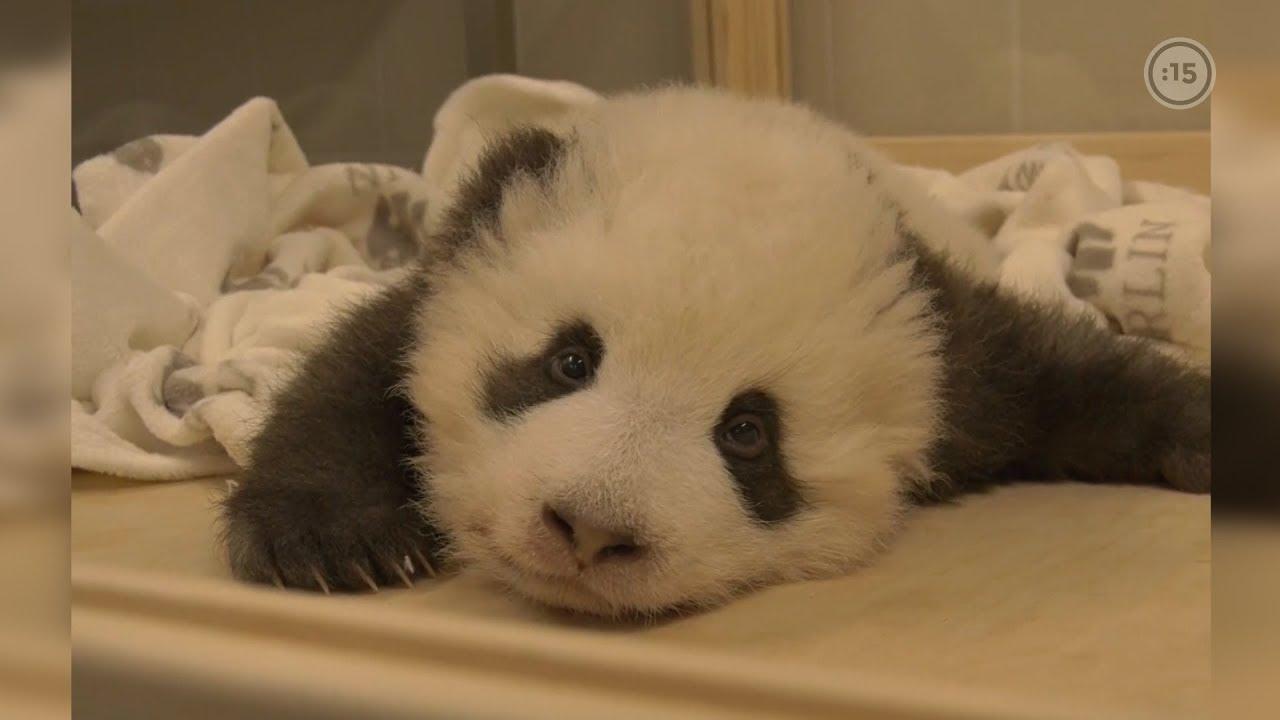 Osito panda con hipo en el zoo de Berlín