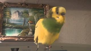 Арчик - говорящий попугай.