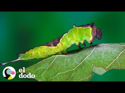 Oruga Tiene Una Transformación Maravillosa | El Dodo