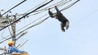 仙台市太白区の八木山動物公園で4月14日、飼育しているチンパンジー...