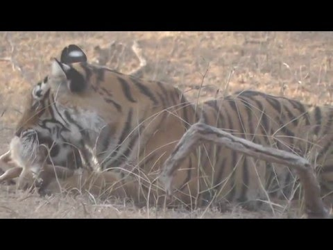 Ranthambore Tiger Killing Deer . Dangerous encounter. Hunting by a Tiger