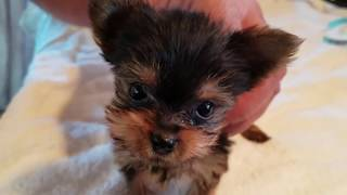 Yorkie Puppy Tex Bath Day Puppyterriers Com