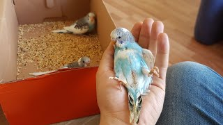 Muhabbet kuşlarının hepsi yeme ayrıldı ve eşe atma töreni