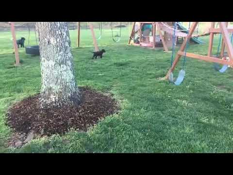 Portuguese Water Dog Puppies Playing Outside