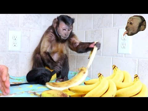 Capuchin Monkey Goes BANANAS!