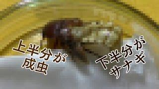 ミルワームの成虫、コメノゴミムシダマシ。サナギから羽化すると、とて...