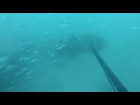 Goliaths surrounding us while spearfishing Offshore