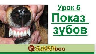 Показ зубов  как правильно показывать зубы  ринговая дрессировка