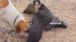Gambar cover Peach's Prairie Falcon Friends