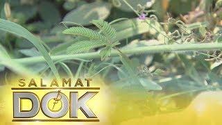 Salamat Dok: Health benefits of makahiya leaves