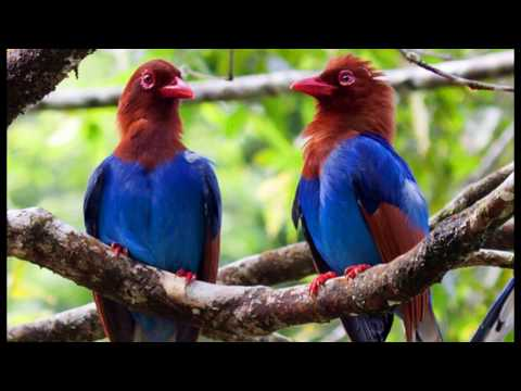 birds Passerine video