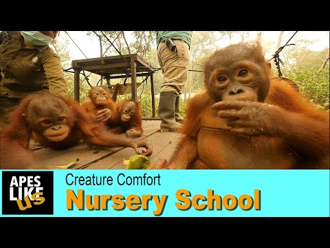 Baby Orangutans Nursery School