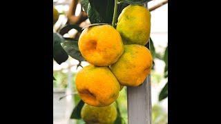 вырастить мандариновое дерево  доступно для каждого