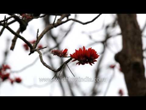 Fantastic wild Coral blossom display in Rajaji National Park, Dehradun