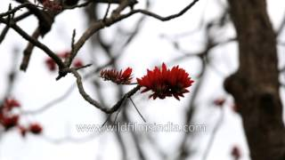 Fantastic wild Coral blossom display in Rajaji National Park, Dehradun
