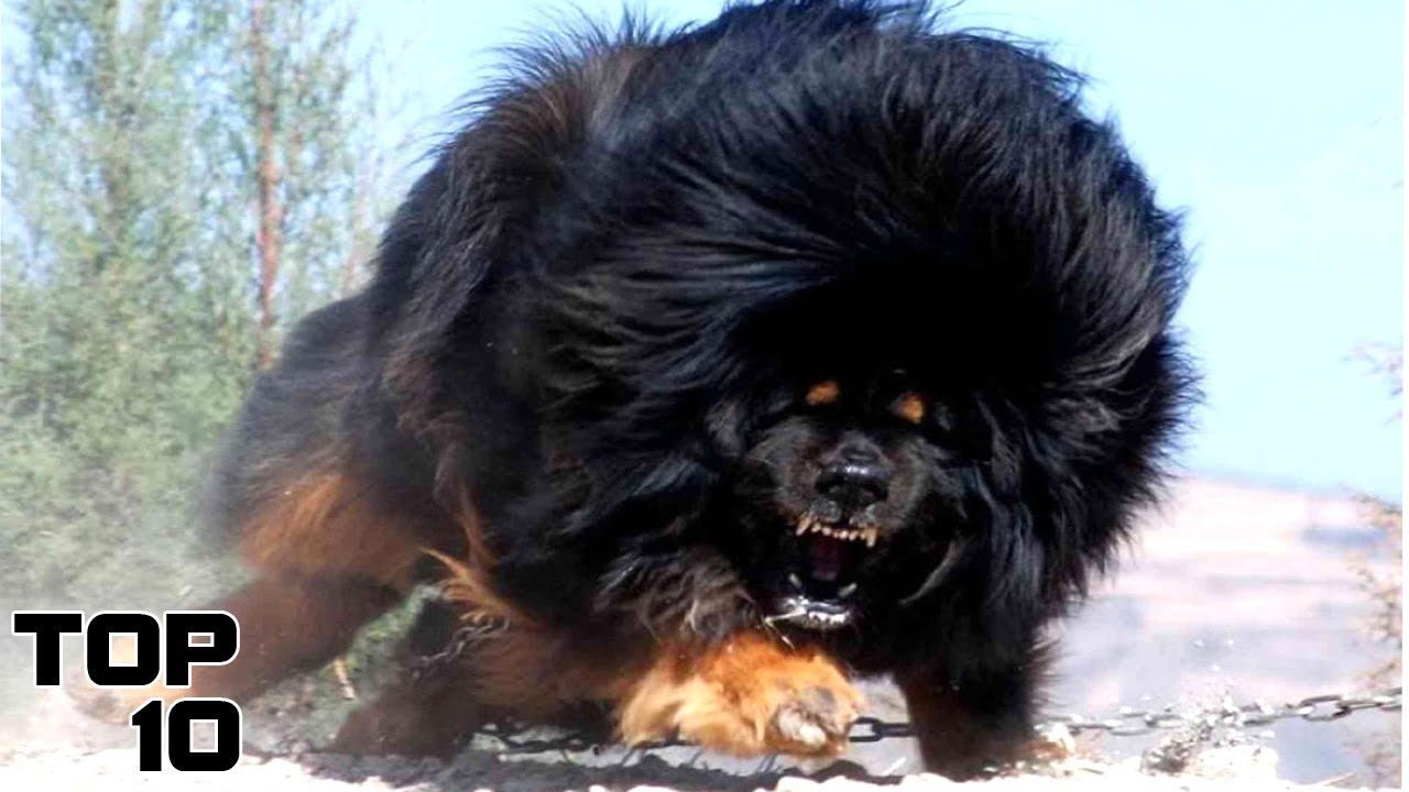 Aggressive Dog Breeds Australia