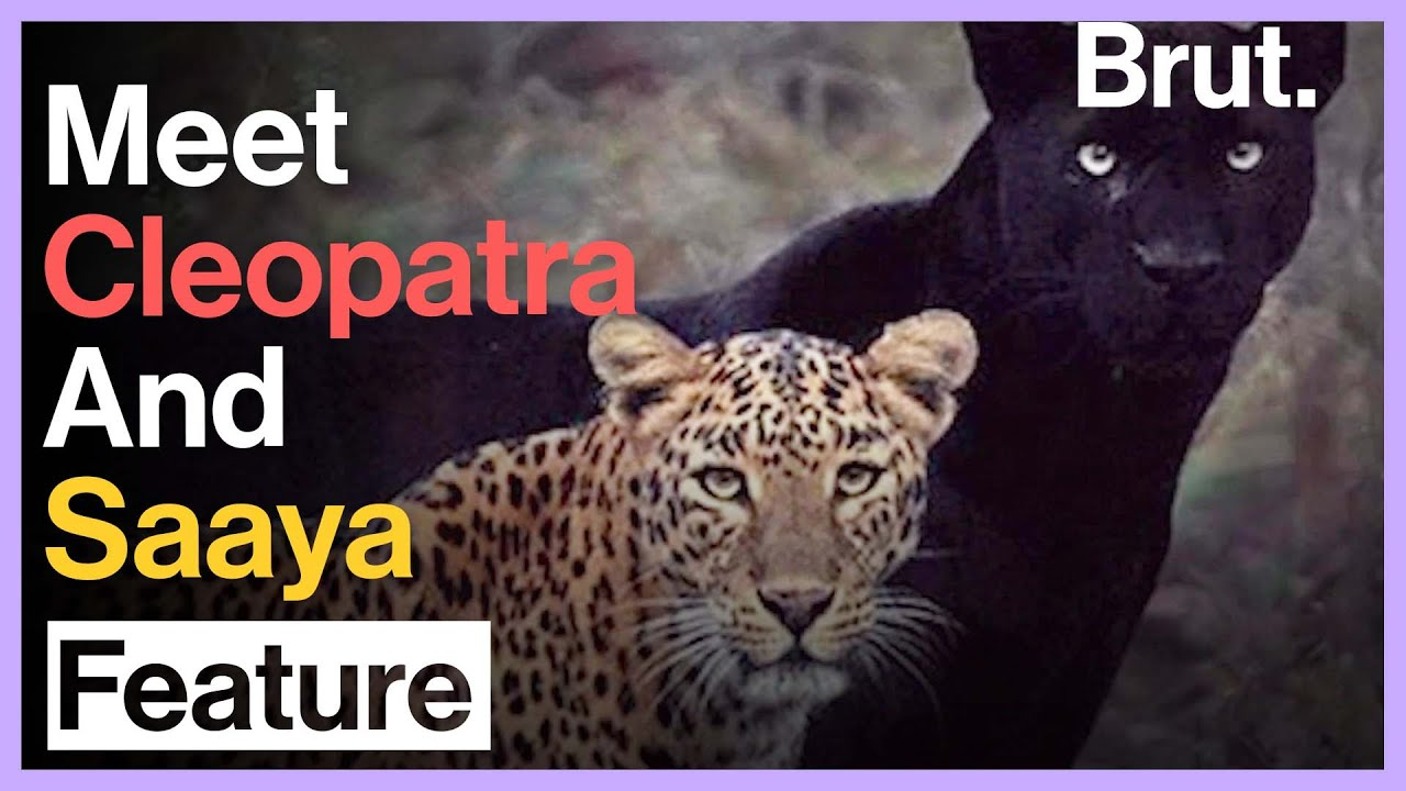 Meet India's Most Famous Big Cat Couple