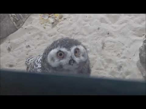 Cute Snowy Owlet at Tulsa Zoo