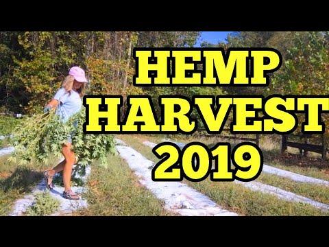 HEMP HARVEST 2019 – Harvesting Industrial Hemp for CBD