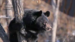 Медведи-древолазы в Приморском Сафари-парке