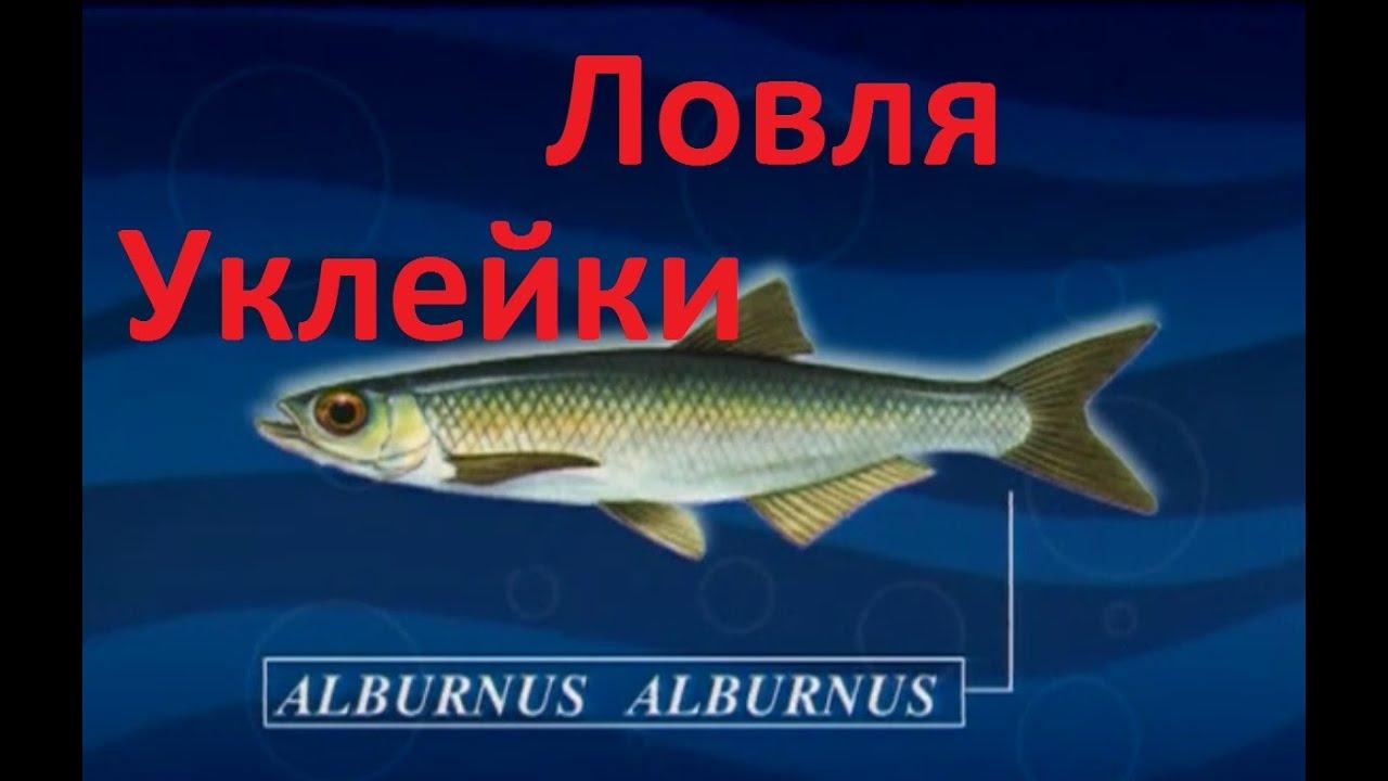 Диалоги о рыбалке -131- Крупная уклейка на удочку.