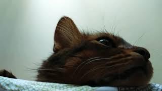 Time-lapse cat. Перси в ускоренной съёмке. Сомали кот.