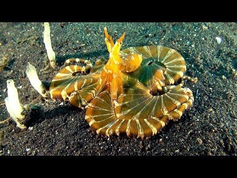 Bizarre wonderpus octopus - Lembeh-Strait (Wunderpus photogenicus)