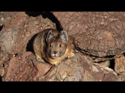 Pika adapt to human presence with new calls