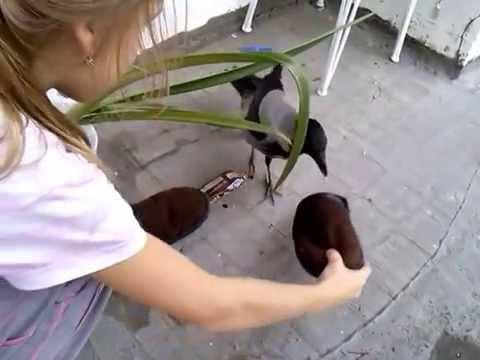 Ворона украла сникерс или первая встреча - скачать видео.
