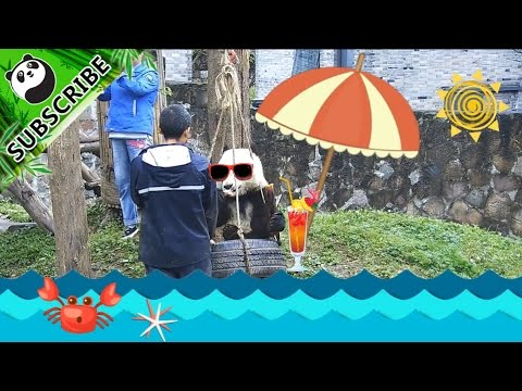 【Panda Top3】Qing Qing's seaside holiday with nanny!