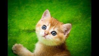 Кошка Beilis SunRay Британский котенок черного золотого затушеванного окраса BRI ny 11