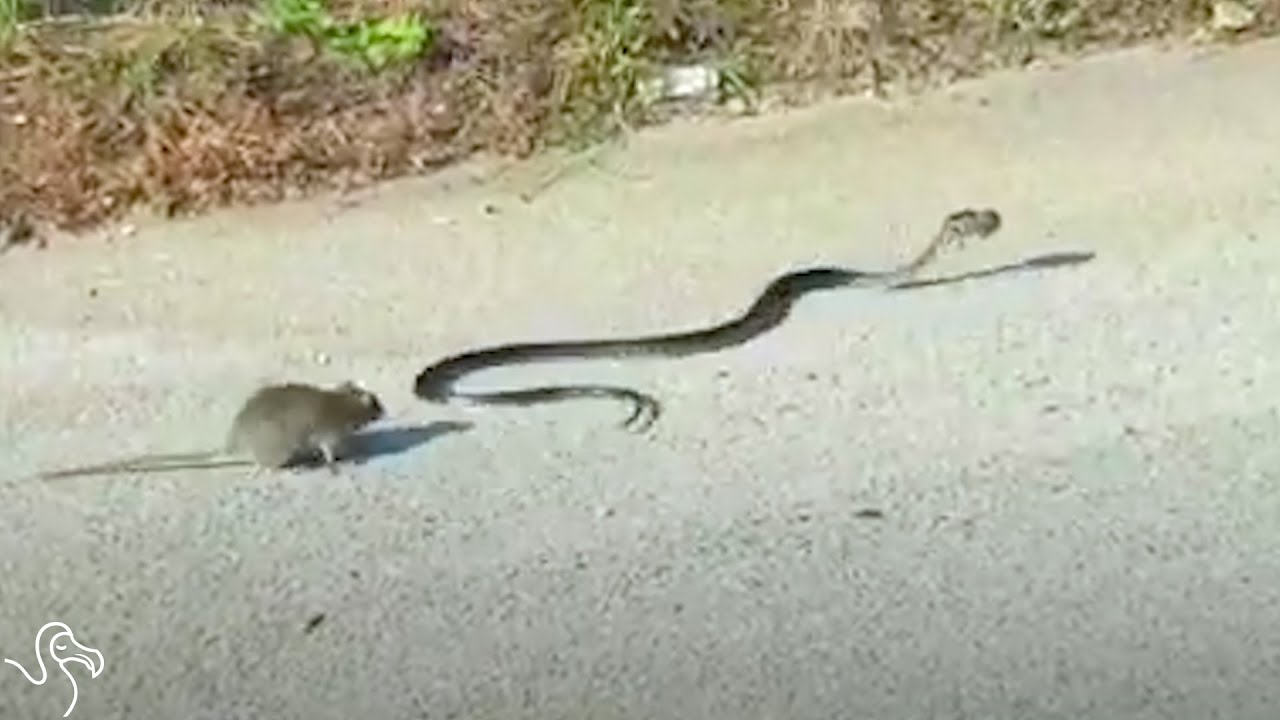 Rat Mom Attacks Snake Who Threatens Her Baby