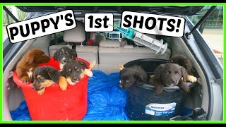 Today is the day we get the puppies their first shots! We show you ...