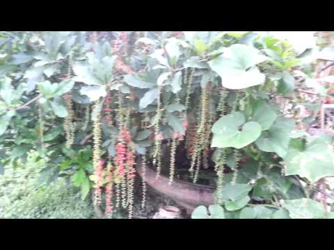 Cay loc vung dep nhat- vườn cây babilon